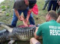 В Донецке крокодил проглатил укротителя.