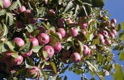 Первый в республике яблочный сад. В ДНР стартовала закладка 32.000 саженцев.